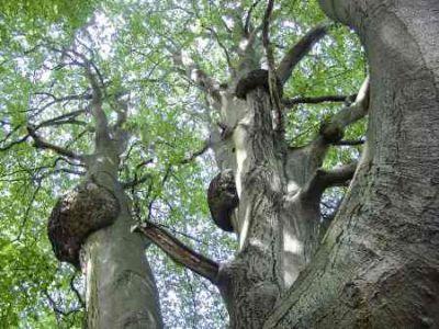 Buchenwälder in guten Händen Quelle NLF