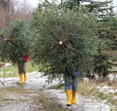 Frischekur für den Weihnachtsbaum quelle landesforsten.de