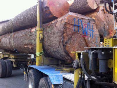 Anlieferung des Baumriesen im Furnierwerk in Havixbeck Foto IFN Wehmeyer Furnierwerk