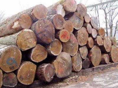 bestimmte Bäume taugen für die Herstellung von edlem Furnier. Foto  IFN Furnierwerk Wehmeyer