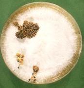 Schizophyllum commune in Kulturschale