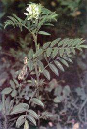 glycyrrhiza